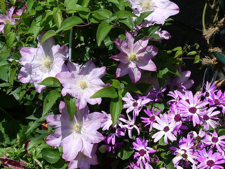 阿吹(アブキ)(早咲き大輪系パテンス系 新・旧両枝咲き)の花が増えてきた。2017年-7.jpg