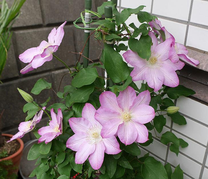阿吹(アブキ)(早咲き大輪系パテンス系 新・旧両枝咲き)の花が増えて来た。2018年-1.jpg