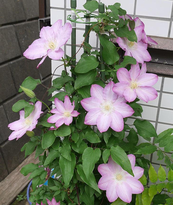 阿吹(アブキ)(早咲き大輪系パテンス系 新・旧両枝咲き)の花が増えて来た。2018年-2.jpg