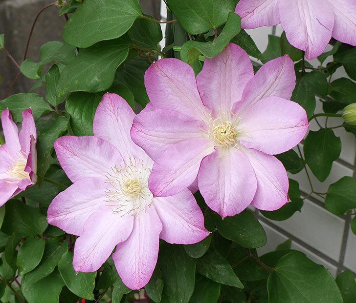 阿吹(アブキ)(早咲き大輪系パテンス系 新・旧両枝咲き)の花が増えて来た。2018年-3.jpg