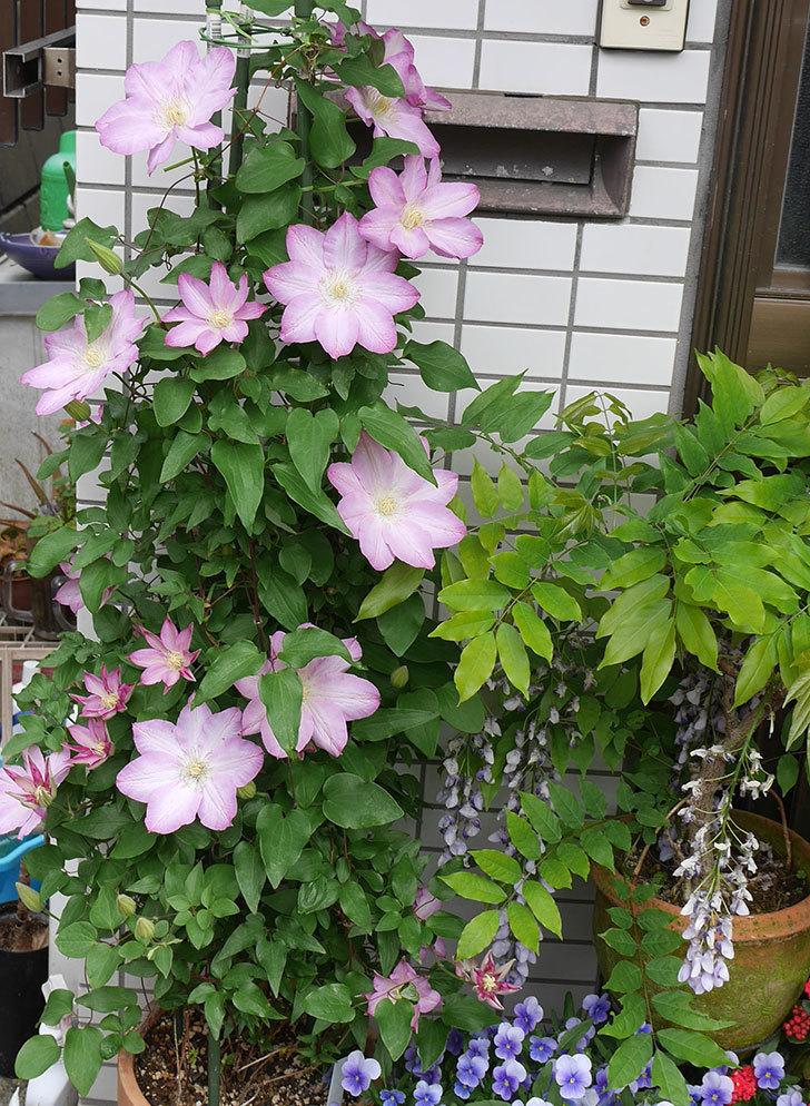 阿吹(アブキ)(早咲き大輪系パテンス系 新・旧両枝咲き)の花が増えて来た。2018年-5.jpg