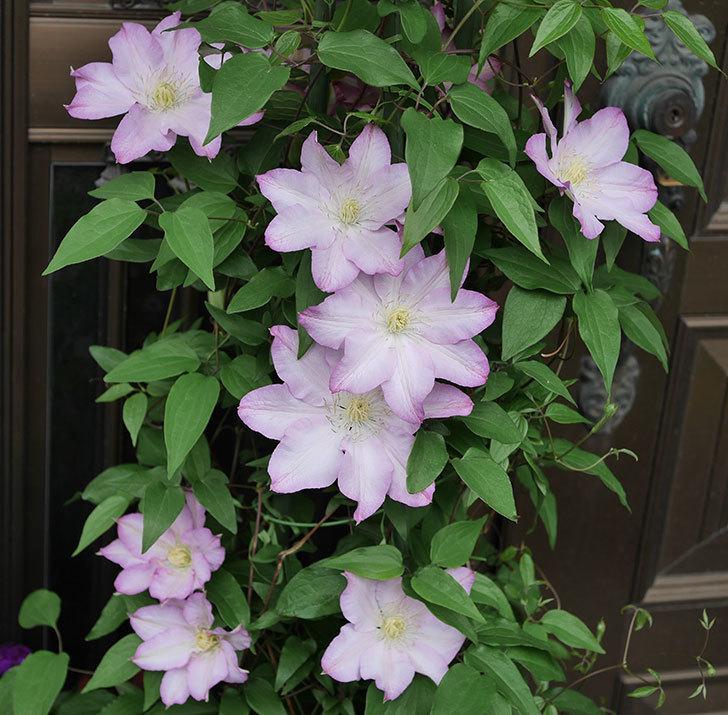 阿吹(アブキ)(早咲き大輪系パテンス系 新・旧両枝咲き)の花が増えて来た。2019年-1.jpg
