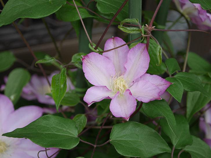 阿吹(アブキ)(早咲き大輪系パテンス系 新・旧両枝咲き)の花が増えて来た。2019年-2.jpg