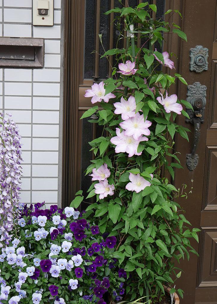 阿吹(アブキ)(早咲き大輪系パテンス系 新・旧両枝咲き)の花が増えて来た。2019年-8.jpg