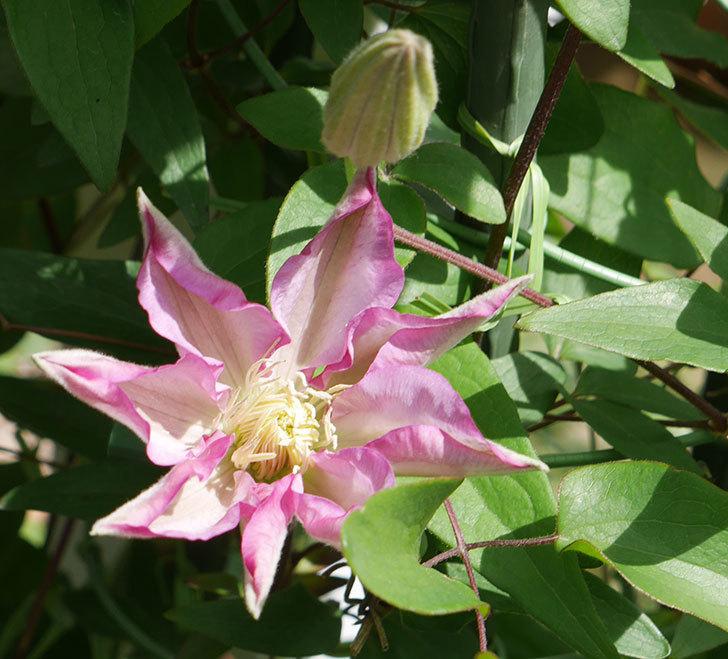 阿吹(アブキ)(早咲き大輪系パテンス系 新・旧両枝咲き)の花が少し咲いた。2019年-1.jpg