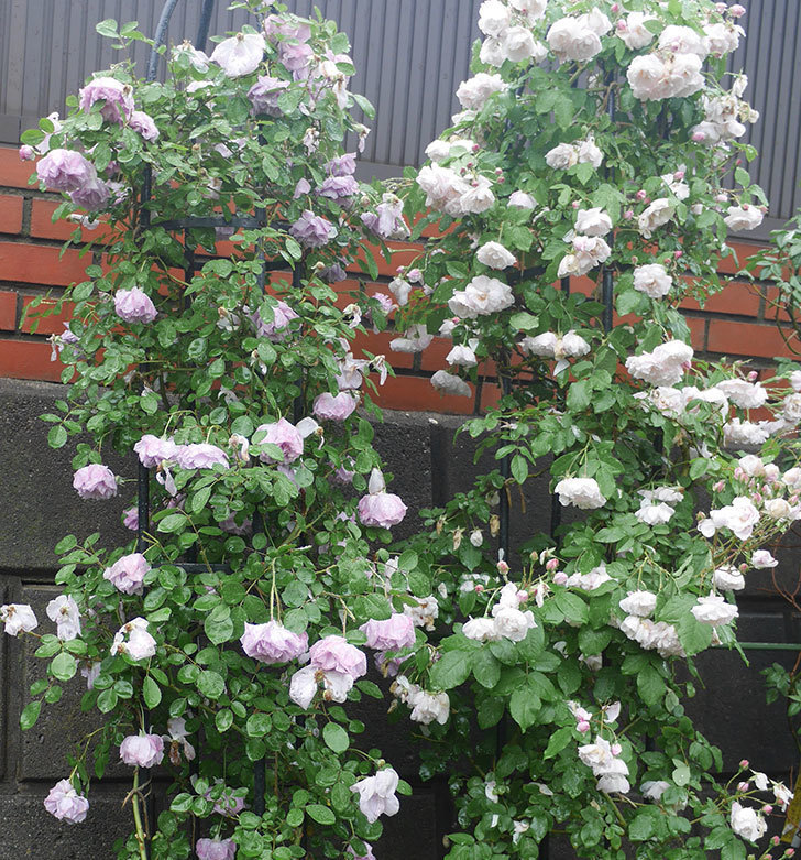 雨と風でバラの花がボロボロになった。2019年-1.jpg