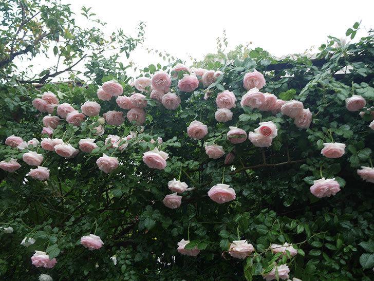 雨と風でバラの花がボロボロになった。2019年-10.jpg