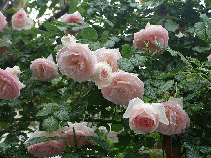 雨と風でバラの花がボロボロになった。2019年-11.jpg