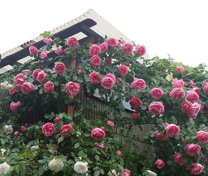 雨と風でバラの花がボロボロになった。2019年-12.jpg