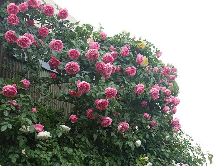 雨と風でバラの花がボロボロになった。2019年-13.jpg