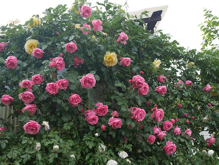 雨と風でバラの花がボロボロになった。2019年-15.jpg