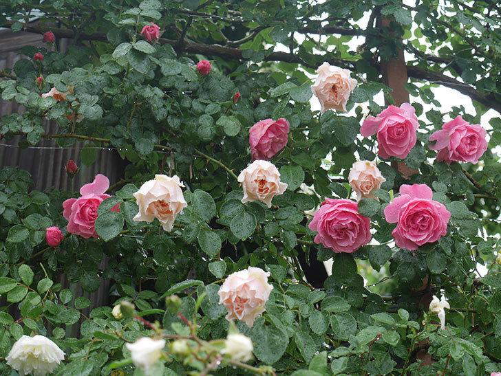 雨と風でバラの花がボロボロになった。2019年-17.jpg