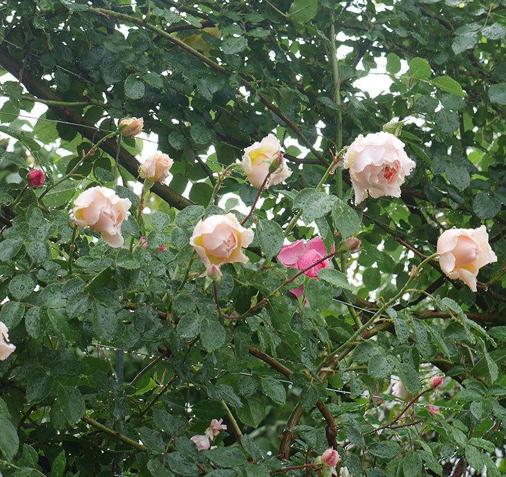 雨と風でバラの花がボロボロになった。2019年-18.jpg