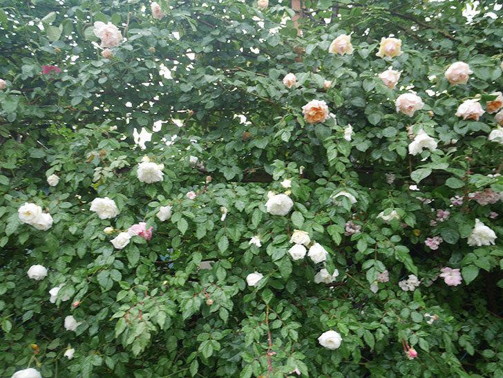雨と風でバラの花がボロボロになった。2019年-19.jpg