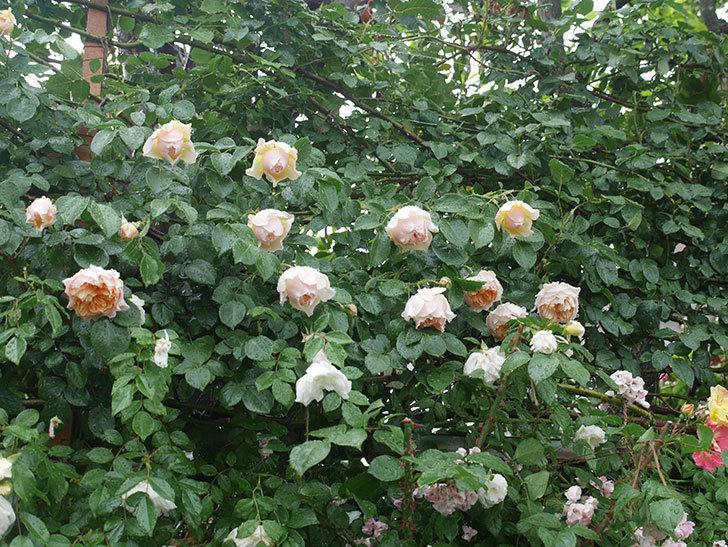 雨と風でバラの花がボロボロになった。2019年-20.jpg