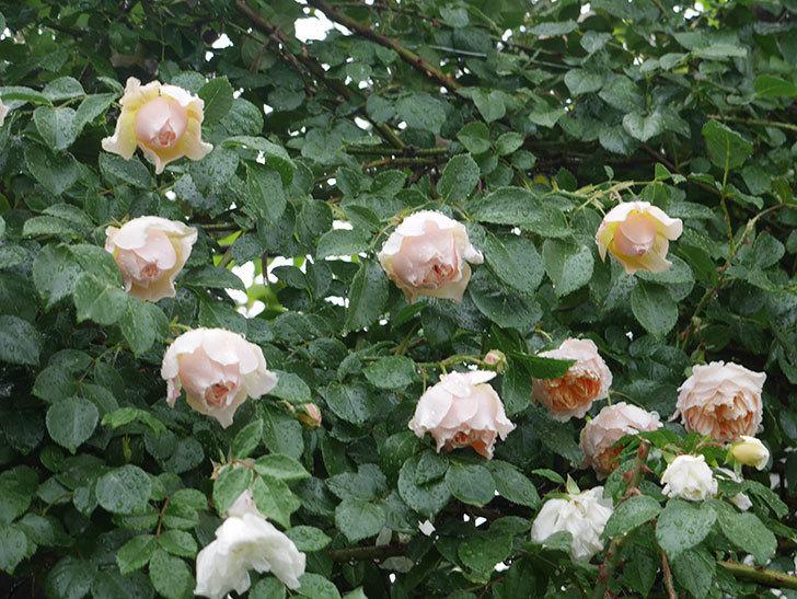 雨と風でバラの花がボロボロになった。2019年-21.jpg