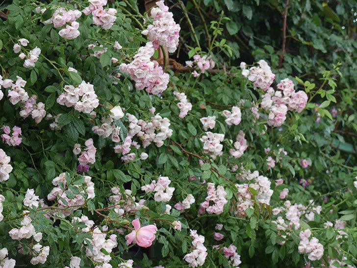 雨と風でバラの花がボロボロになった。2019年-22.jpg