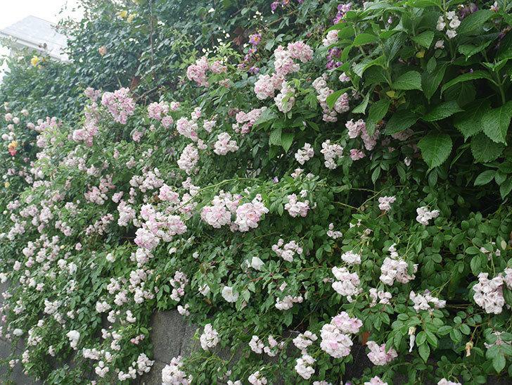 雨と風でバラの花がボロボロになった。2019年-25.jpg