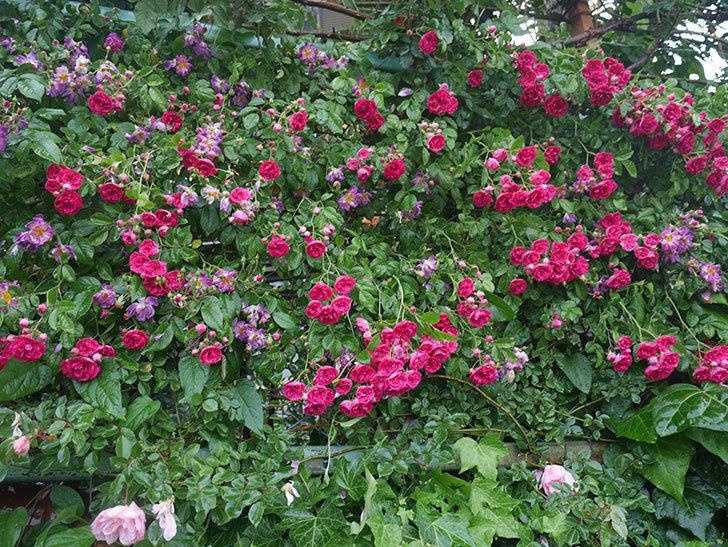 雨と風でバラの花がボロボロになった。2019年-26.jpg