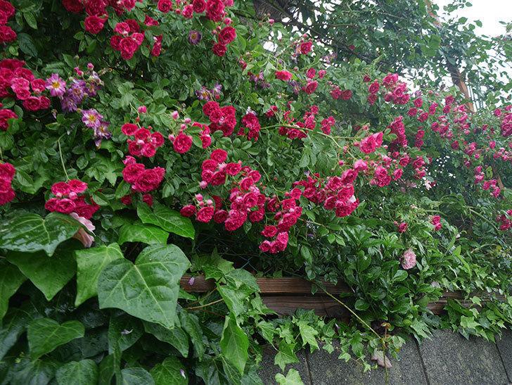 雨と風でバラの花がボロボロになった。2019年-27.jpg