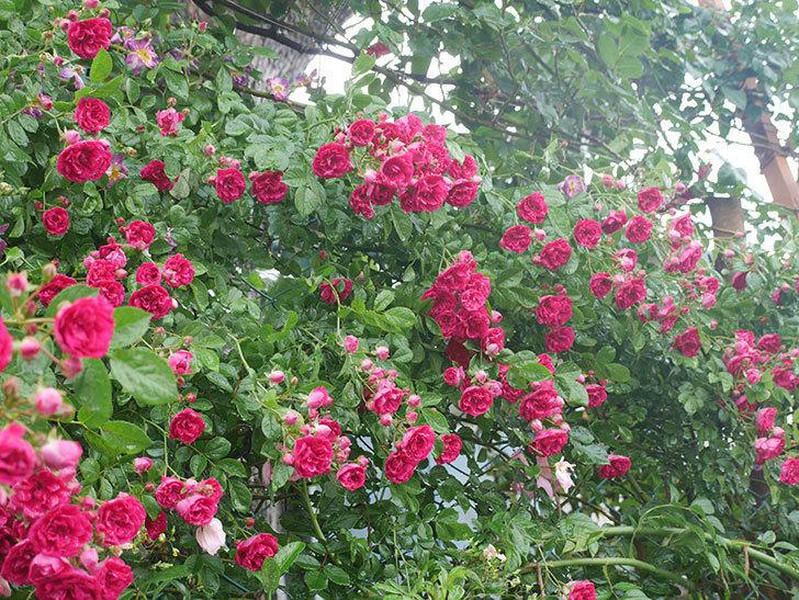 雨と風でバラの花がボロボロになった。2019年-28.jpg