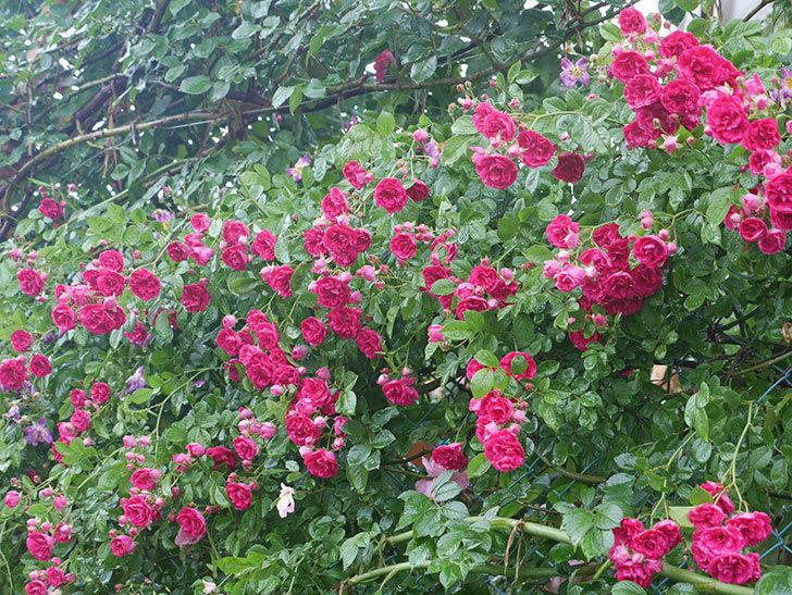 雨と風でバラの花がボロボロになった。2019年-29.jpg