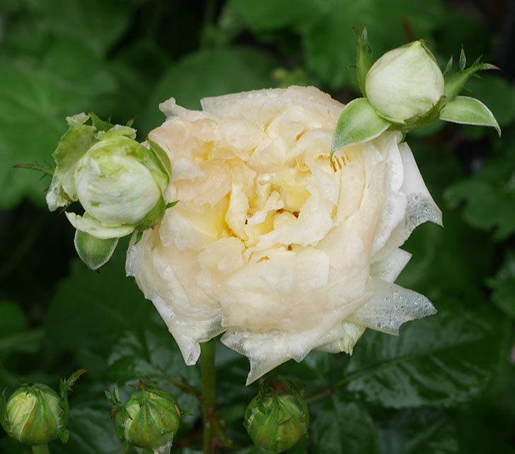 雨と風でバラの花がボロボロになった。2019年-3.jpg
