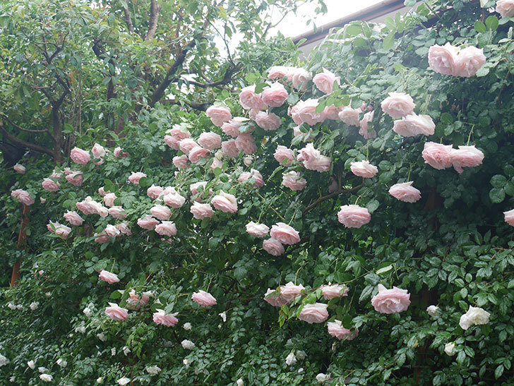 雨と風でバラの花がボロボロになった。2019年-30.jpg