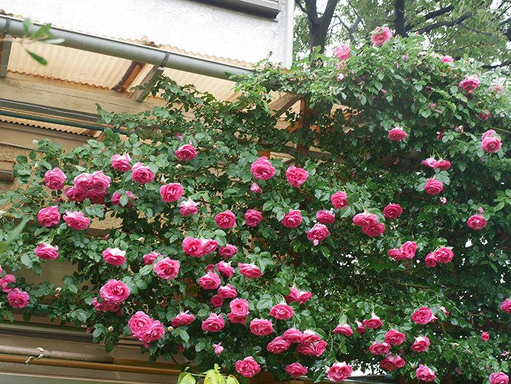 雨と風でバラの花がボロボロになった。2019年-31.jpg
