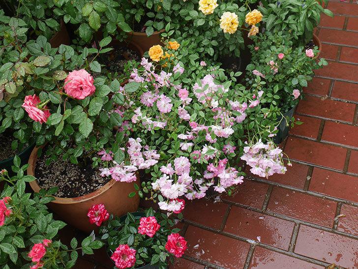 雨と風でバラの花がボロボロになった。2019年-32.jpg