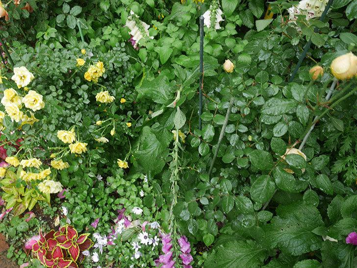 雨と風でバラの花がボロボロになった。2019年-33.jpg