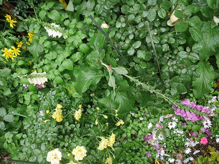 雨と風でバラの花がボロボロになった。2019年-34.jpg