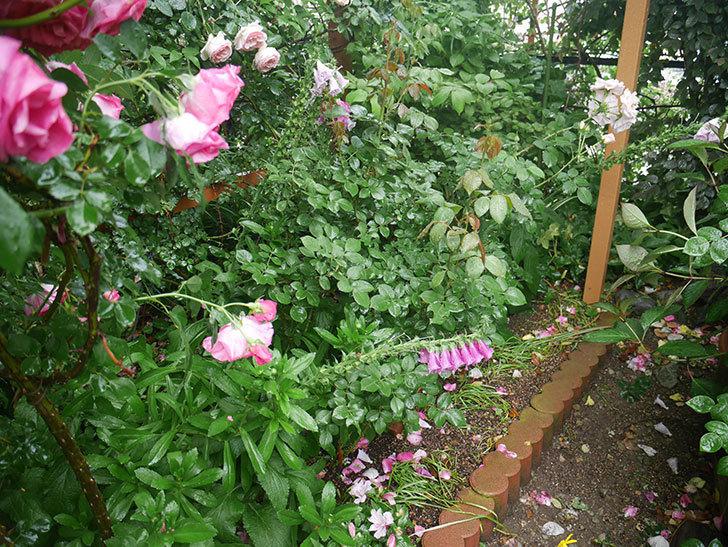 雨と風でバラの花がボロボロになった。2019年-37.jpg