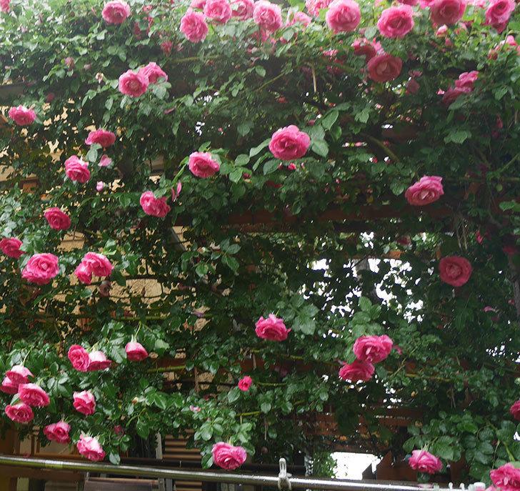 雨と風でバラの花がボロボロになった。2019年-38.jpg