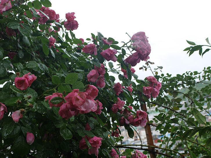 雨と風でバラの花がボロボロになった。2019年-39.jpg