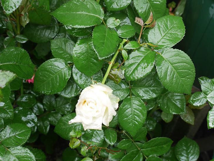 雨と風でバラの花がボロボロになった。2019年-4.jpg