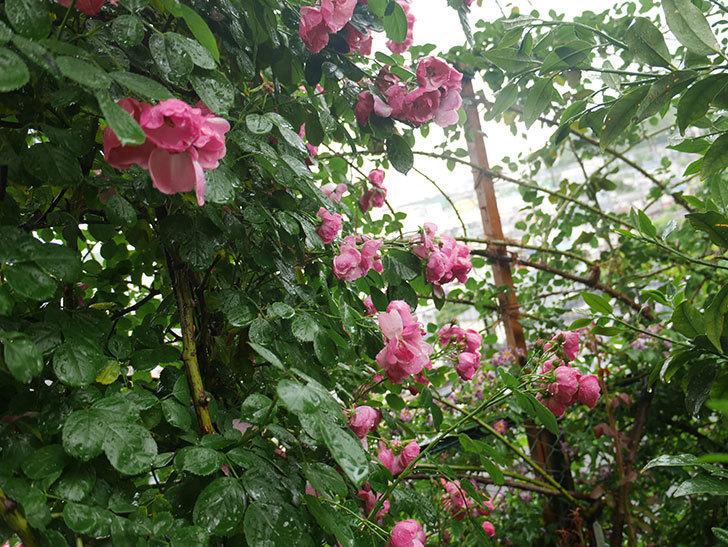 雨と風でバラの花がボロボロになった。2019年-40.jpg