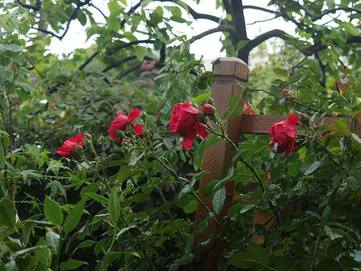 雨と風でバラの花がボロボロになった。2019年-41.jpg