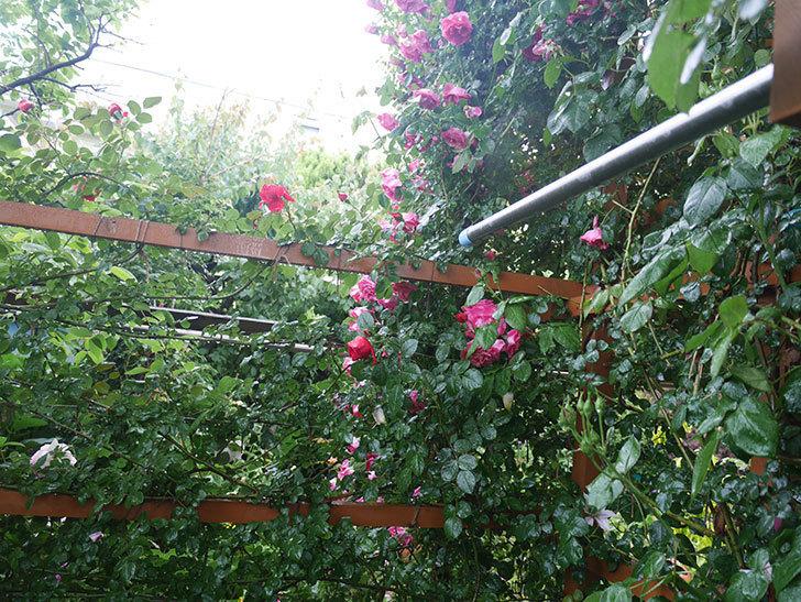 雨と風でバラの花がボロボロになった。2019年-42.jpg