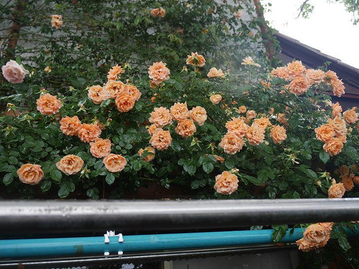 雨と風でバラの花がボロボロになった。2019年-43.jpg