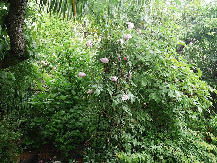 雨と風でバラの花がボロボロになった。2019年-44.jpg