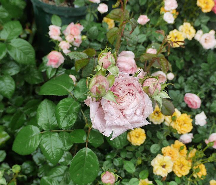 雨と風でバラの花がボロボロになった。2019年-5.jpg