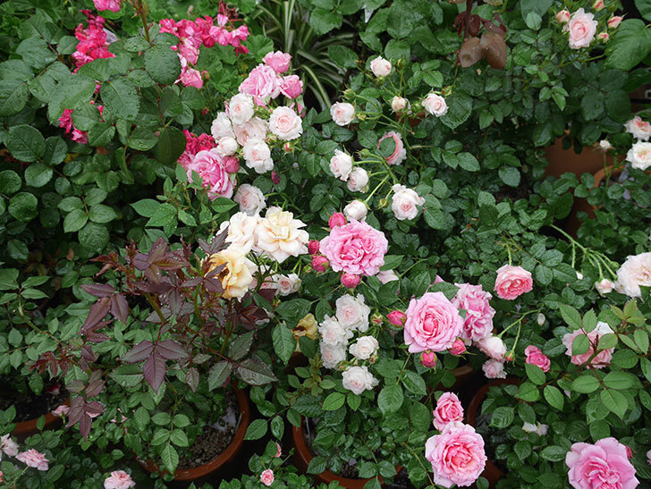 雨と風でバラの花がボロボロになった。2019年-6.jpg