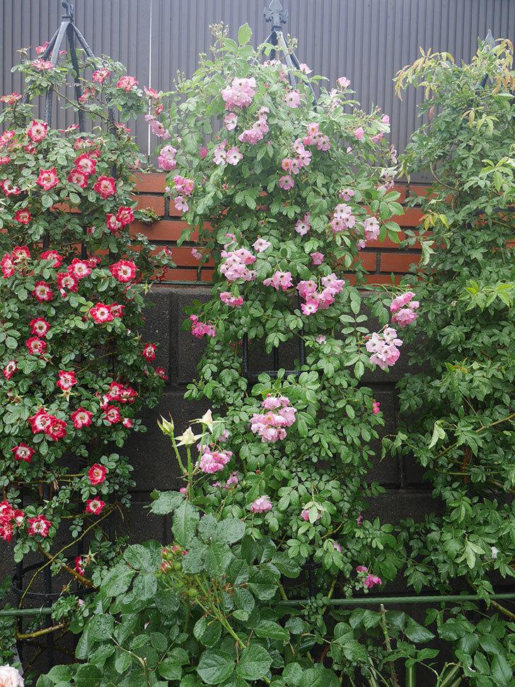雨と風でバラの花がボロボロになった。2019年-7.jpg