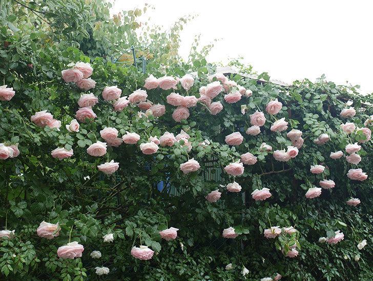 雨と風でバラの花がボロボロになった。2019年-9.jpg