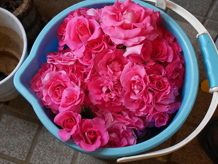 雨の前にバラの花を切ってきた。2019年-9.jpg