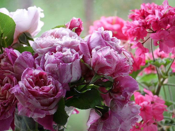 雨予報だったので咲いているバラを切り花にした。2020年-032.jpg