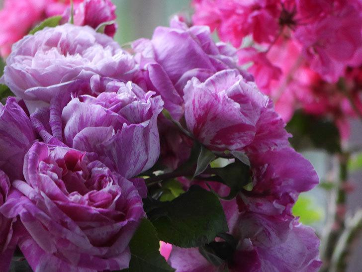 雨予報だったので咲いているバラを切り花にした。2020年-036.jpg