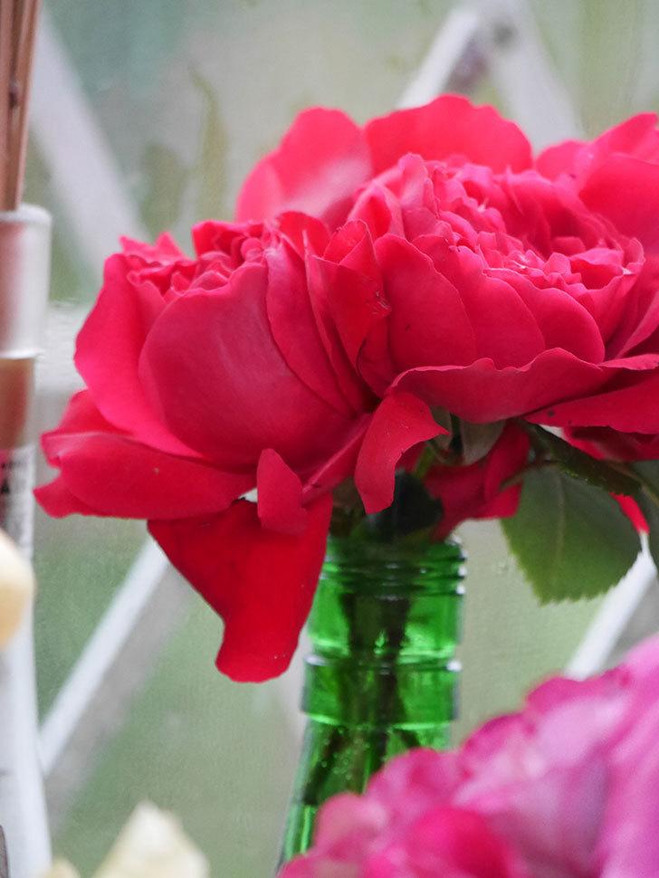 雨予報だったので咲いているバラを切り花にした。2020年-051.jpg