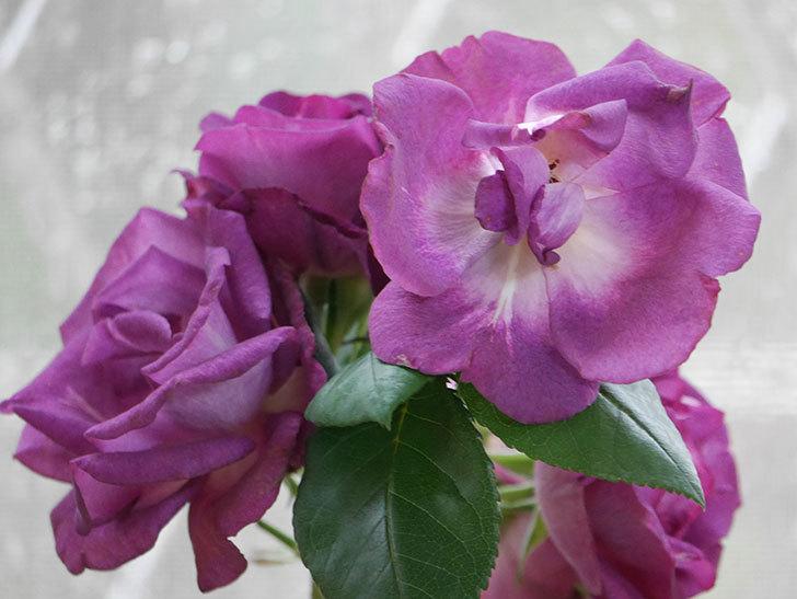 雨予報だったので咲いているバラを切り花にした。2020年-054.jpg